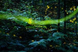 石垣島 ホタルの見頃 inバンナ公園|ヤエヤマヒメホタル|キイロスジボタル